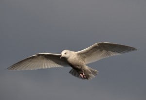Iceland Gull at Scrabster